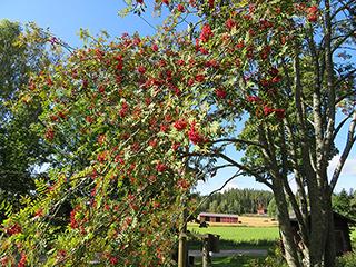 フィンランド文学の祖 Aleksis Kivi 生誕の家付近にあるナナカマドの木